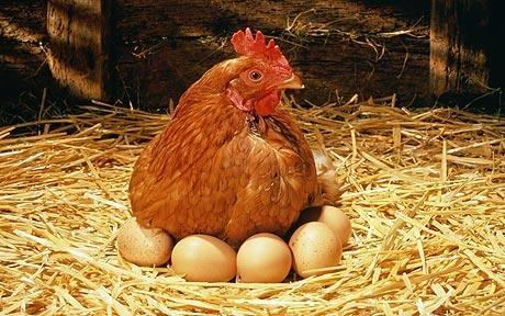 rase de gaini pentru oua