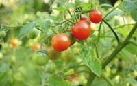 tomate in gradina