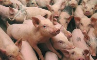 Boli transmisibile la porcine