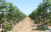 plantatie paulownia