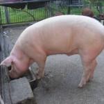 porcul rasa Marele Alb