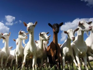 turma de capre