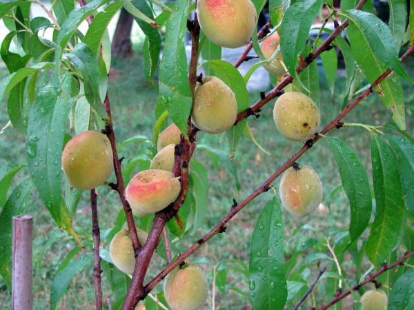 Cum arata ciuperca de putregai brun la pomii fructiferi