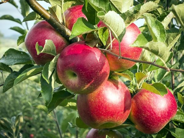 Plantarea pomilor fructiferi livada de meri