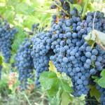 legea vinului si a vitei de viee