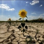 fermierii afectati de seceta