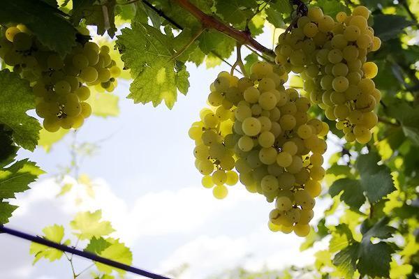 vin si vita de vie