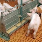 hrana porci, sistem hranire