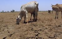vaca paste seceta din agricultura