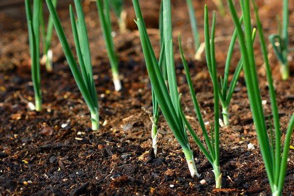 cultura de ceapa verde din arpagic