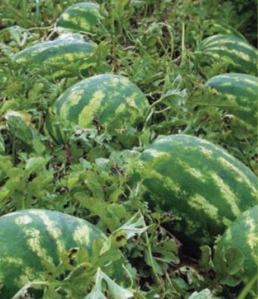 cultura de pepene verde, dulce de dabuleni