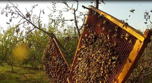 factori care influenteaza productia de miere