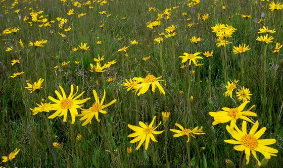 plante medicinale arnica montana l