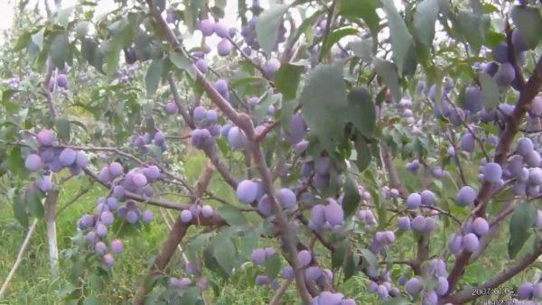 soiuri de prun pentru tuica, rachiu