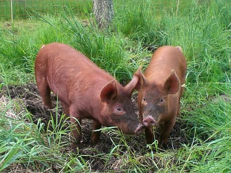 porci de carne din-rasa-Duroc
