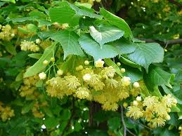 teiul planta medicinala