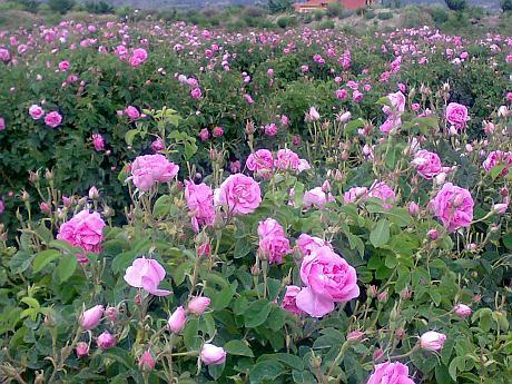 trandafiri dulceata de damasc
