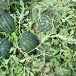 cultura de pepene verde