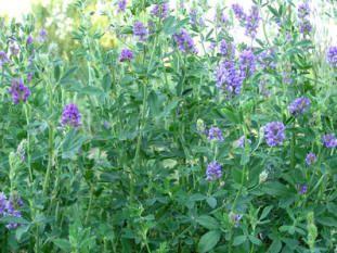 lucerna, planta medicinala si furajera