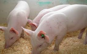raie porci, boli parazite