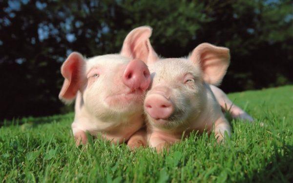 cresterea porcilor