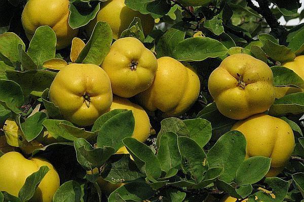 gutui, fructe minune bogate in vitamine