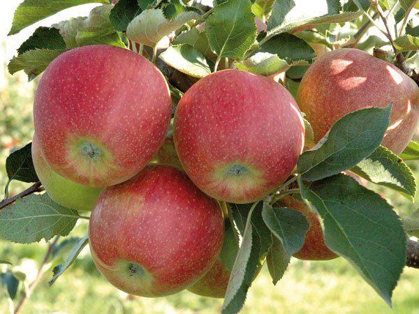 mere soiuri pomi