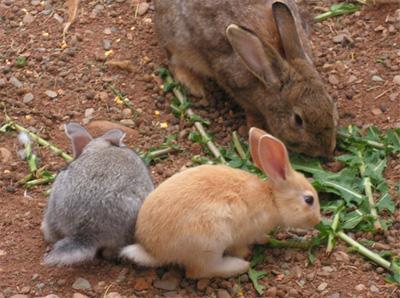 hranirea corecta a iepurilor