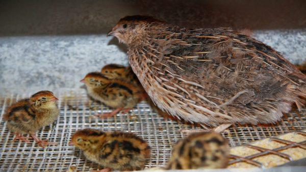 cresterea-prepelitelor-pentru-oua-si-carne