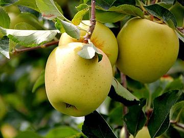 mere-importanta-economica-a-merelor