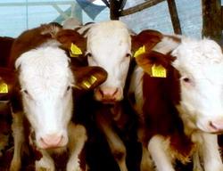 vaci-de-lapte