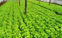 cultura-de-salata-verde