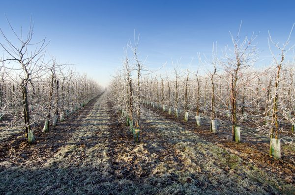 pomi-fructiferi-taieri-iarna