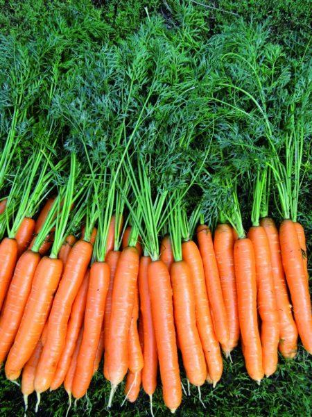 morcovi metode de conservare