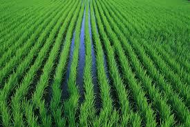 orezarii cultura de orez