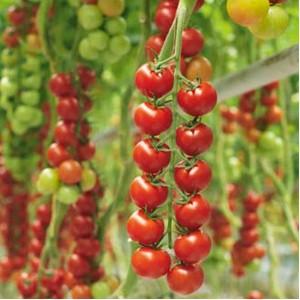 seminte rosii cherry pentru cultura in sere si solarii