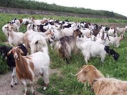 bunastarea caprelor