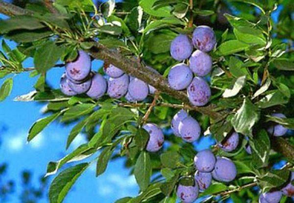 cultura de pruni soiuri pruni