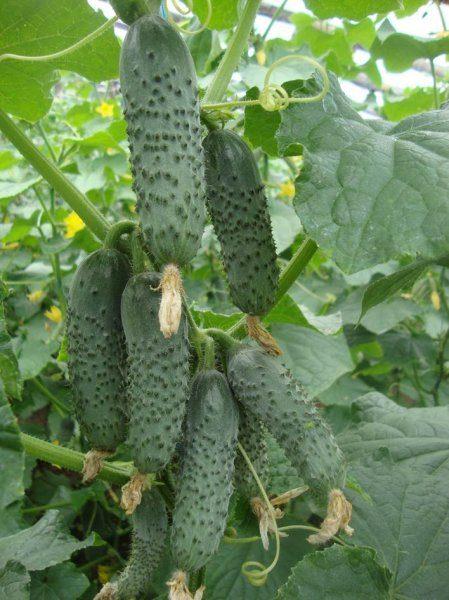 seminte castraveti cornison