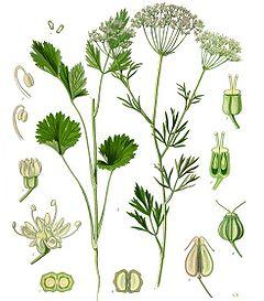 cultura de anason PimpinellaAnisum