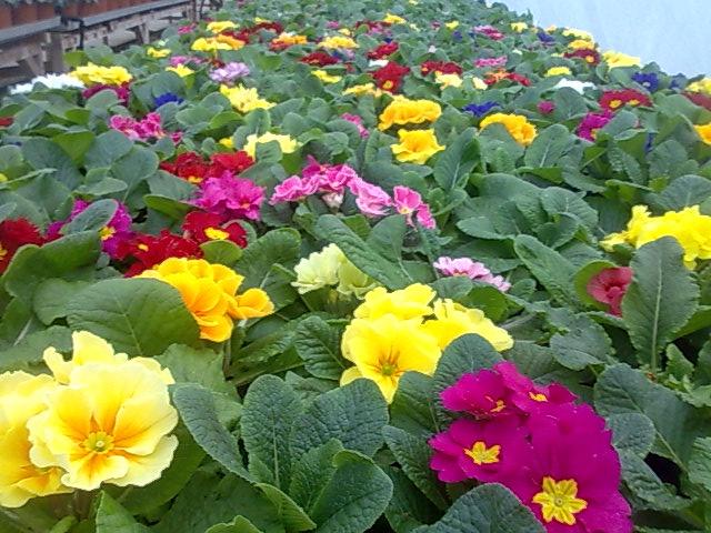 vanzari rasaduri flori